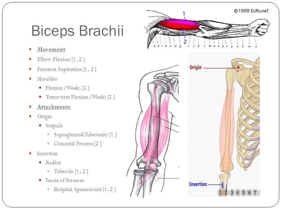 Biceps Brachii Movement Elbow Flexion [1, 2 ]